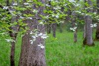 Dogwood, Smokys, trees, Spring