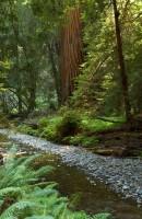 Redwood And Stream