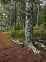 Trees, Roots, Forest, moss, Nature, pine trees