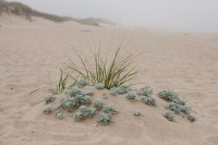 Cape Cod, beach, sand, island, plant, fog, New England, Massachusetts