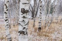 Birch Stand In November Snow, New England, snow, trees