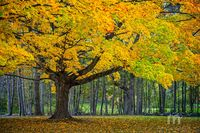Foliage, Lower Green, Newbury, Tree