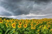 sunflowers, passing storms, Newbury, ma