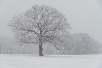 lone tree, Maudslay State Park, snow storm, new england