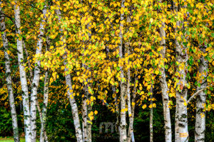 Birch Trees In Yellow