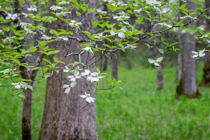 Dogwood, Smokys, trees, Spring, photo