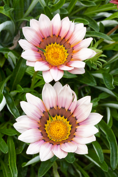 Flowers, Nature, pair of flowers, , photo