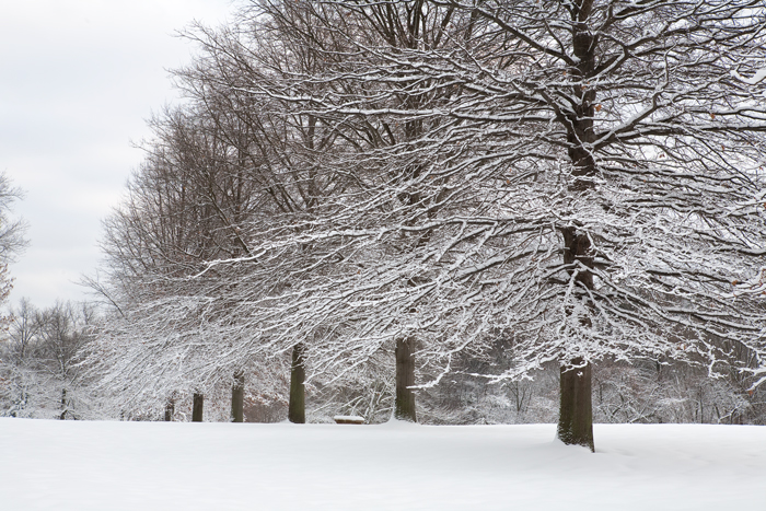 Trees All In A Row After Snow Storm