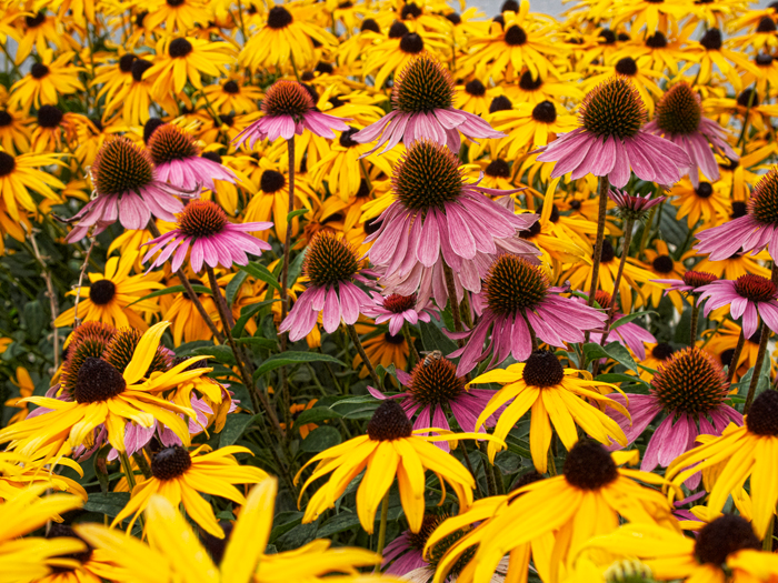 Cone Flowers, Black Eyed Susan, Flowers, pink, yellow, nature, field of flowers, photo