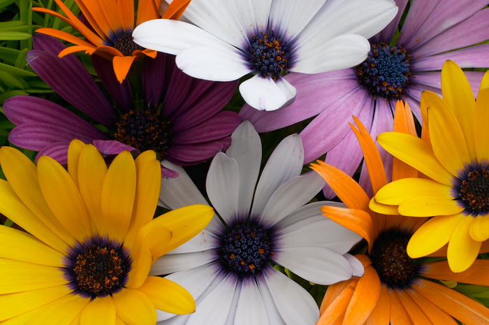 Daisies, multiple colors, flowers, close up flowers, photo