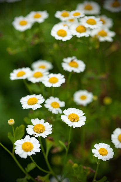 Daisies, flowers, yellow, white, nature, field of flowers, photo