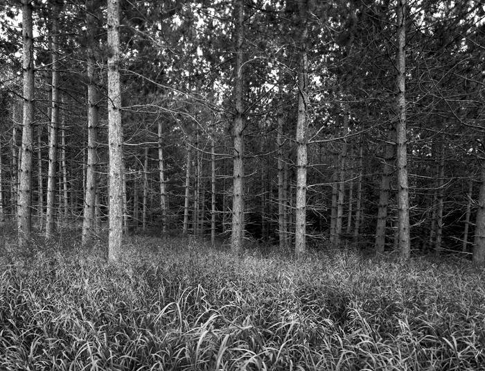Trees, Forest, Dense Trees, Black & White, New England, photo