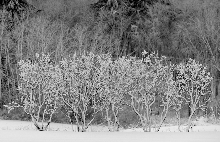 Bushes, Winter, Forest, Black & White, field, photo
