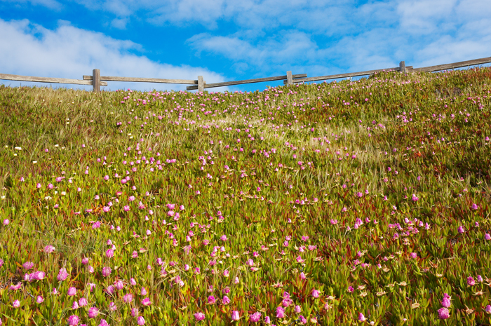 Hillside, Field, West of New England, Flowers, Point Reyes, California, photo