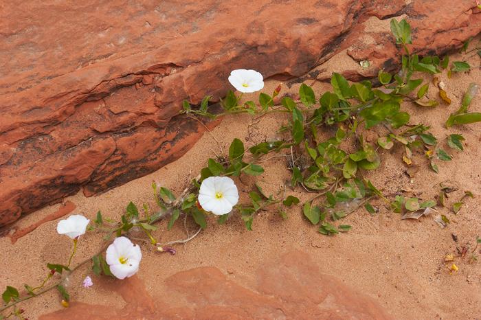 Sedona, Arizona, Desert, flowers, red sand, West, West of New England, photo
