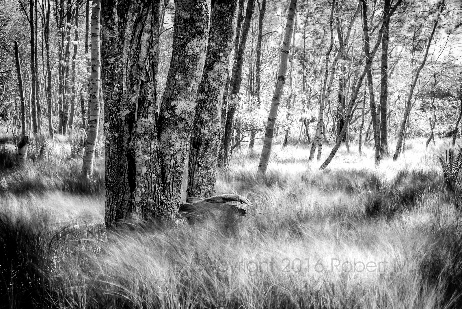The combination of still trees and moving grasses is hard to resist. So, this is a 'must-get' image for me. And I...