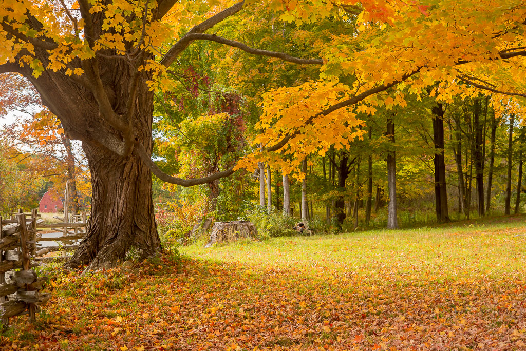 Foliage, yellow, orange, new england, fall, photo