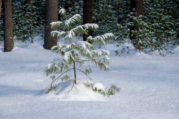 Snow, New England, Willowdale State Forest, photo