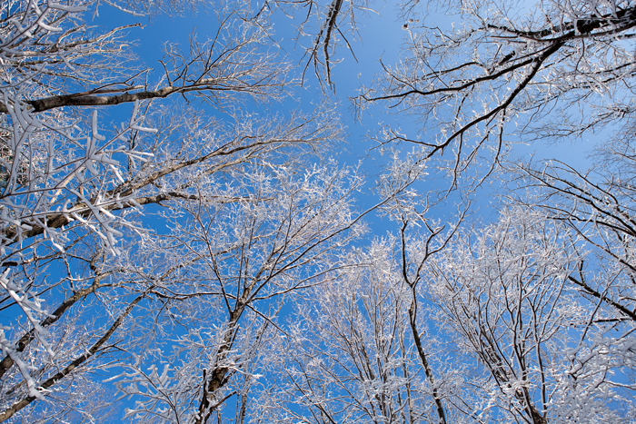 Sky, Trees, Blue Sky, Snow, Snow on Branches, winter, Nature, photo