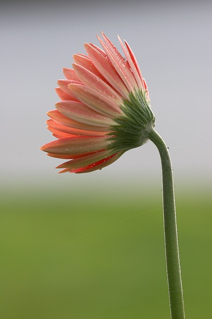 Dew, Flower, gerbera, daisy, Nature,, photo