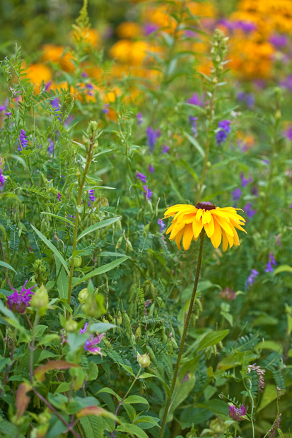 Flower, Black eyed susan, field, flowers, Nature, photo