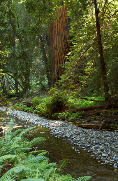 Redwood, Stream, California, West, West Coast, West of New England, photo