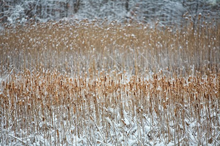 Reeds, Winter, Nature, Snow, photo