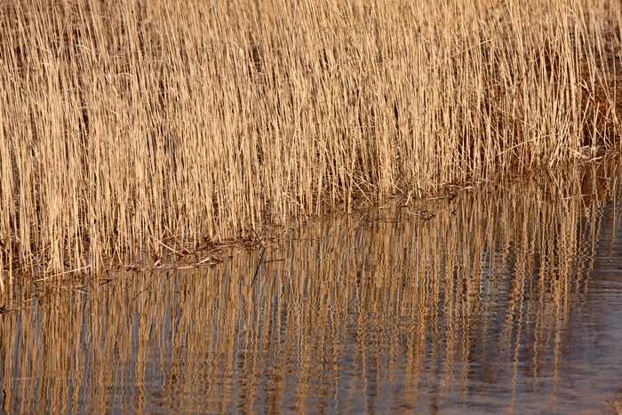 Reeds along the side of the road with nice warm sun on them.