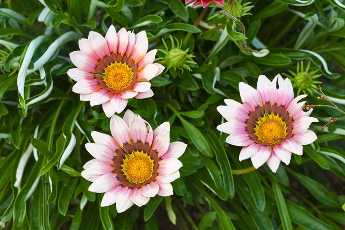 Nature, flowers, three flowers, pink flowers, New England, photo