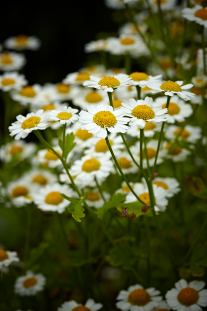 Flowers, Daisies, bunch of flowers, field of flowers, nature, photo