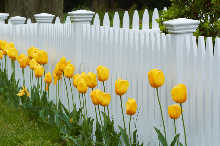 A freshly painted fence with nice yellow tulips on Cape Cod