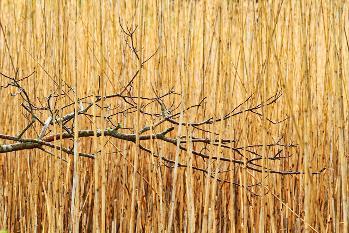 Branch, Cape Cod, tree, reeds, photo