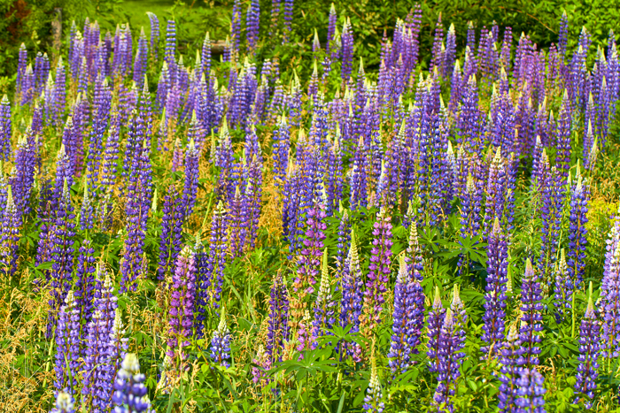 Lupine, Lupines, Flowers, MA, Byfield, field, photo