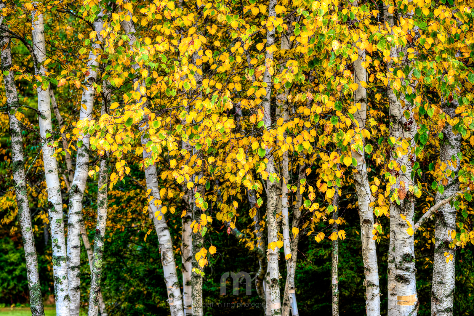 Maine, Samoset, Camden, coast,New England,Trees,Yellow,Birch, photo