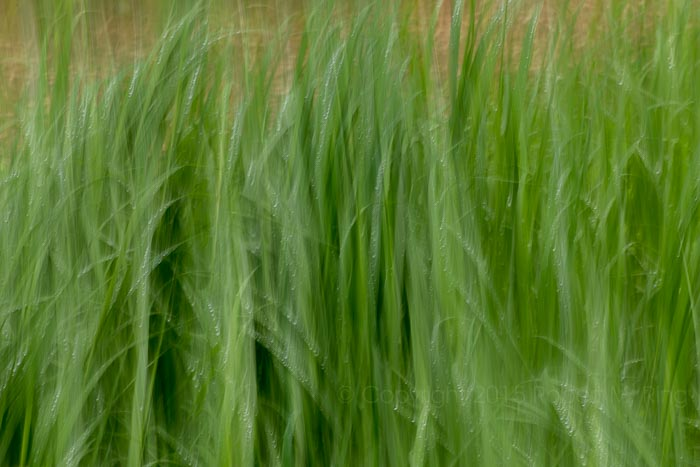 Moving grass in the wind after a rainy night