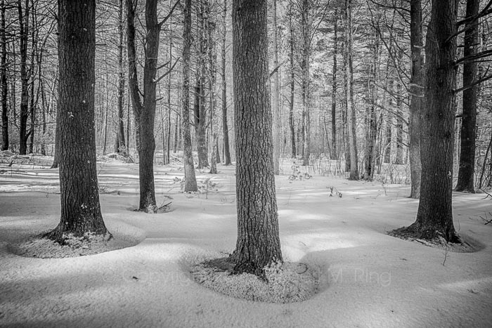 These three trees had interesting bases exposed with snow around them.  Used a wide angle lens up close to capture this...
