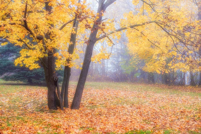 A foggy morning on the North Shore here in Massachusetts resulted in Foggy Foliage.